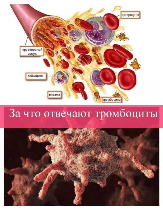 За что отвечают тромбоциты