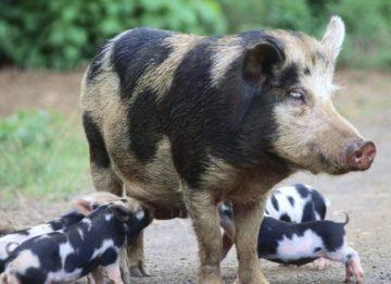 Трихинеллез животных – особенности и опасность для человека