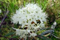 Лекарственное растение багульник