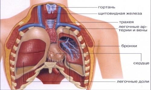 Дыхательная система человека