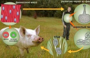Жизненный цикл и строение свиного цепня